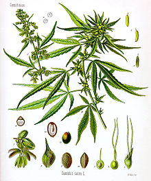 Cannabis sativa Koehler drawing.jpg