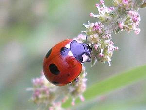 Five-spot ladybird (Coccinella quinquepunctata...