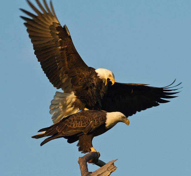 File:Dan Pancamo Baytown Bald Eagles Fall 2010-1.jpg