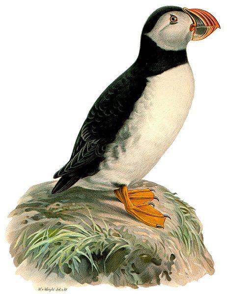 冰島海鸚鵡 @ 藝術季節 :: 痞客邦