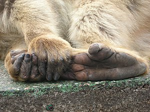 Barbary Macaque (Macaca sylvanus) feet and han...