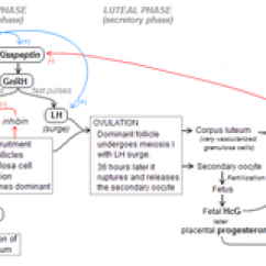 Menstrual Cycle Diagram With Ovulation Lowrance Hds 5 Wiring Wikipedia Flowchart Of The Hormonal Control