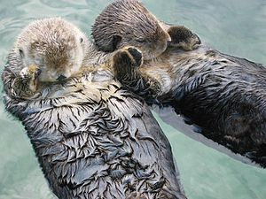 Otters at the Vancouver Aquarium.