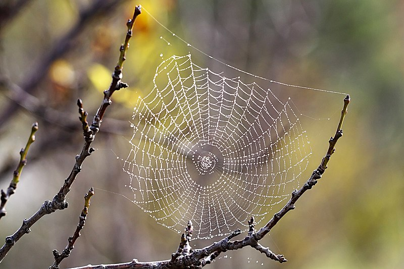 File:Spider web with dew drops03.jpg