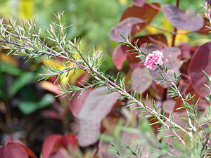 English: Leptospermum scoparium (leaves and fl...