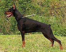 220px European Dobermann Pitbull Strongest Dog