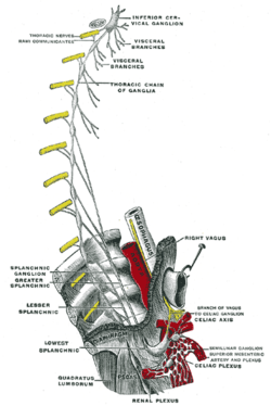 anatomical heart diagram posterior lewis dot for gold inferior cardiac nerve - wikipedia