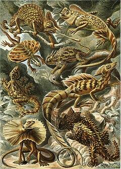 """Lacertilia"", menurut Ernst Haeckel, Kunstformen der Natur (1904)"