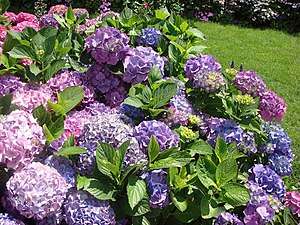 Hydrangeas in front of the Office de Tourisme ...