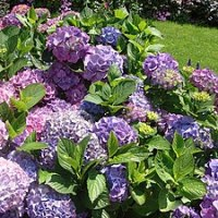 Top 5 Reasons To Grow Hydrangeas