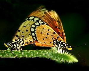 Bahasa Indonesia: kupu yang sedang bereproduksi