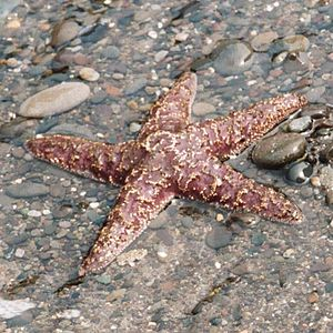 Ochre sea star from Olympic National Park, USA...
