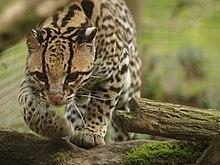 Tiger Animal Wallpaper Ocelot Wikip 233 Dia