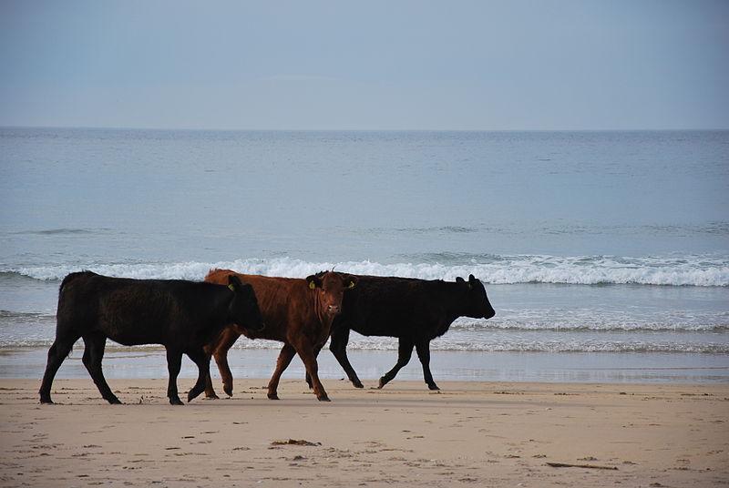 File:Vaches sur la plage - Cows on the beach.JPG