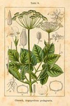 Aegopodium podagraria Sturm12009