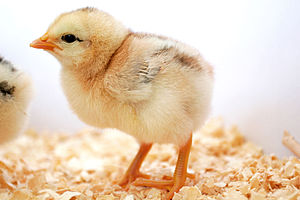 Day old chick