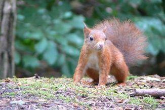Formby squirrel