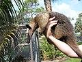 Lesser Anteater.jpg