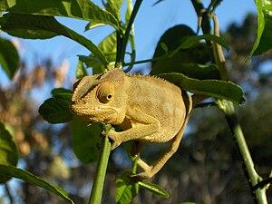 Italiano: Camaleonte del Madagascar, fotografa...