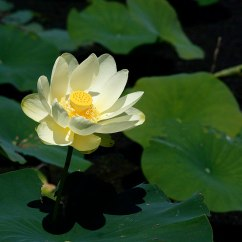 Lotus In Water Plant Diagram How To Wire A Single Pole Switch Nelumbo Lutea Wikipedia
