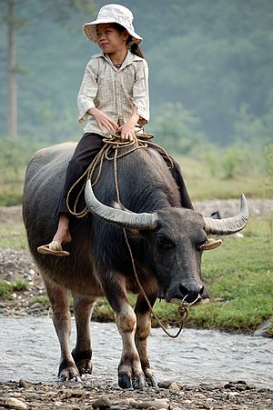 A Vietnamese girl riding a water buffalo.
