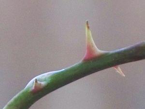English: Rose thorn