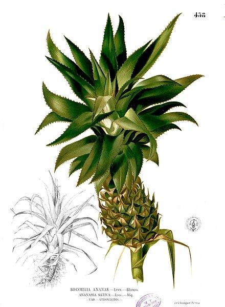 File:Ananas comosus Blanco2.458.jpg