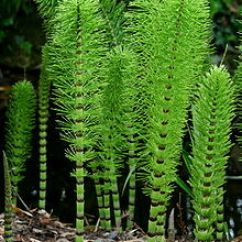 Horsetail Plant Diagram Wiring For A Trailer Plug 7 Pin Equisetum Wikipedia Candocks Of The Great Telmateia Subsp Showing Whorls Branches And Tiny Dark Tipped Leaves