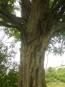 Manilkara Hexandra Wikipedia