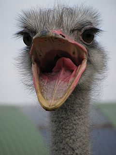 Ostrich, mouth open
