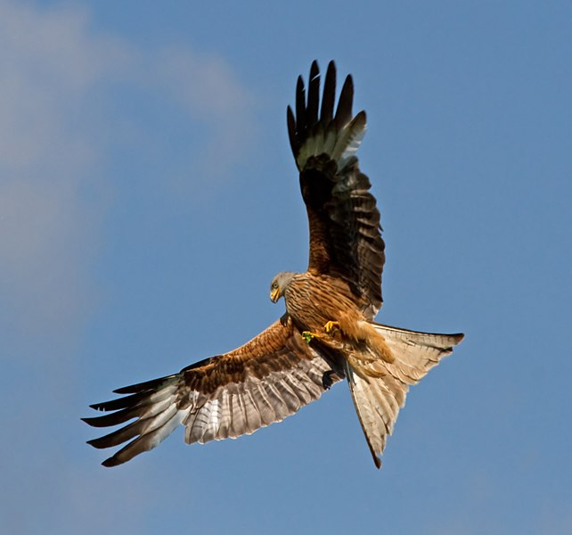 File:Red Kite 9 (5939341023).jpg