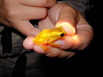 English: Yellow Tree frog from the Manu Learni...