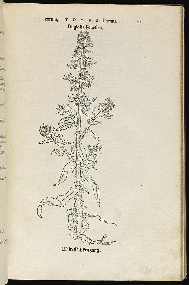 Buglossa sylvestris, Wild Ochpen Zung Wellcome L0075035.jpg