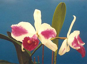 Cattleya aquinii
