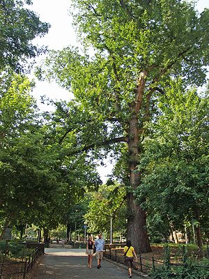 Hangman's Elm in Washington Square Park, New Y...