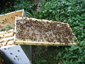 English: Honey bees cleaning the last of the h...