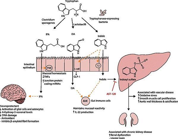 Tryptophan metabolism diagram