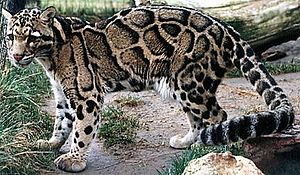 A clouded leopard at the Feline Conservation C...