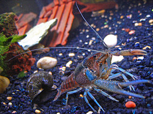 A pet crayfish named Clippy II and an apple sn...