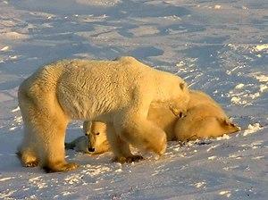 Polar Bears at Cape Churchill (Wapusk National...