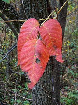 Poison Ivy showing red leaves in the fall.