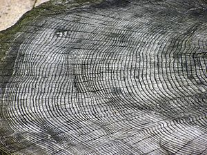 The growth rings of an unknown tree species, a...