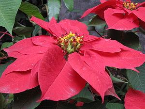 Poinsettia (Euphorbia pulcherrima): flowers an...