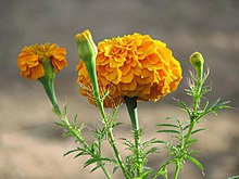 Mexican marigold - Wiktionary