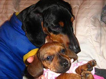 English: dachshund Español: perro dachshund