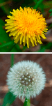 English: Comparison of the yellow flower and p...