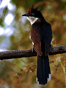 Jacobin cuckoo  Wikipedia