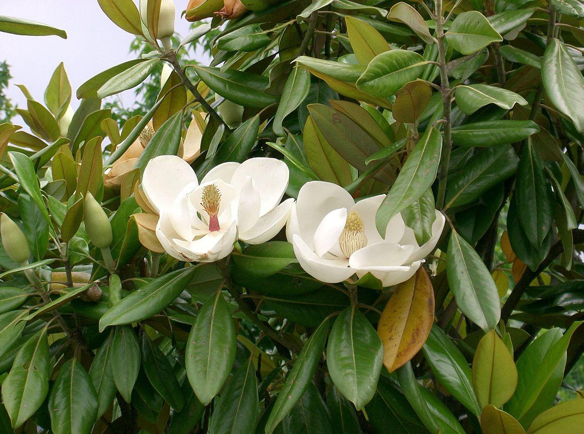 Magnolia grandiflora - Wikispecies