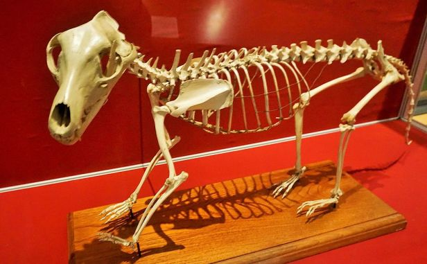National Museum of Australia - Joy of Museums - Thylacine Skeleton