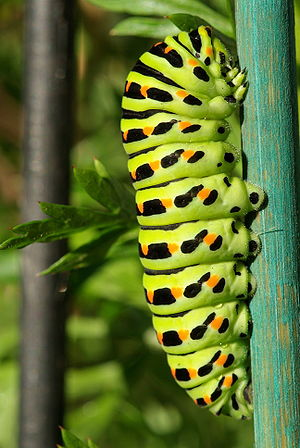 English: Caterpillar Papilio machaon taken in ...